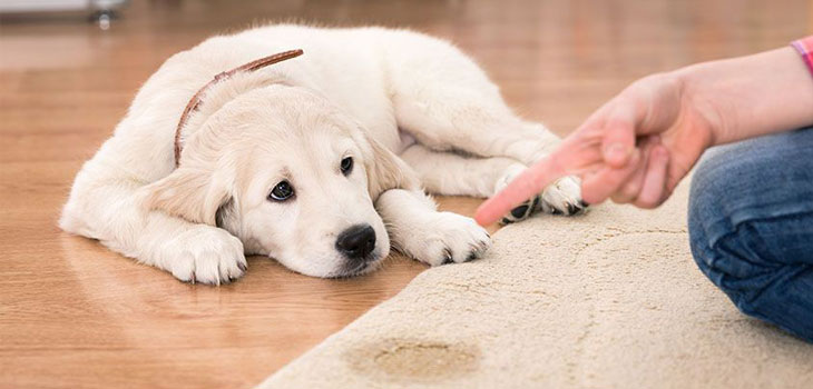Puppy pee on carpet