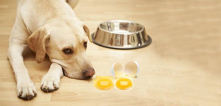 dog eats egg