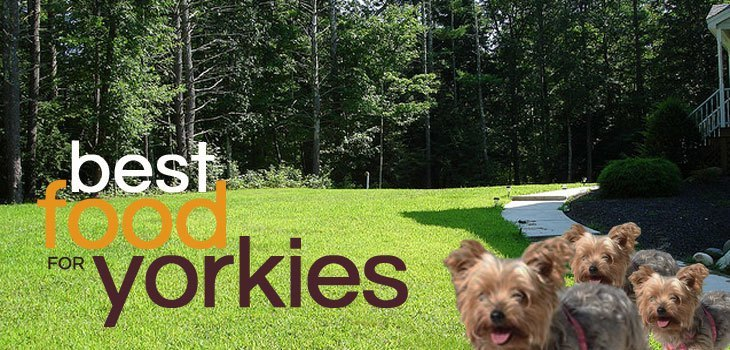 What Is The Best Dog Food For Yorkies Daily Dog Stuff