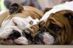 Common Health Concerns english bulldogs