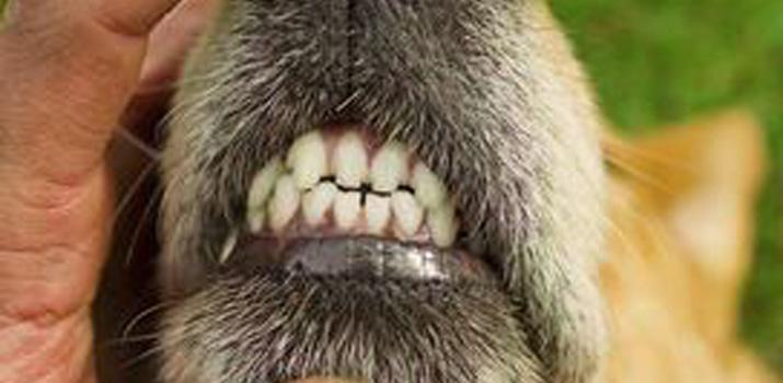 dogs teeth chattering