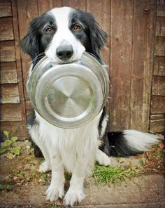 Border collie with food tray