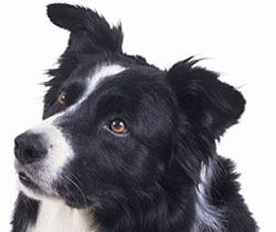 Border-collies health