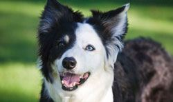 border collie eyesight