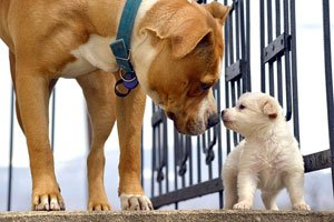 introduce a puppy to a larger dog