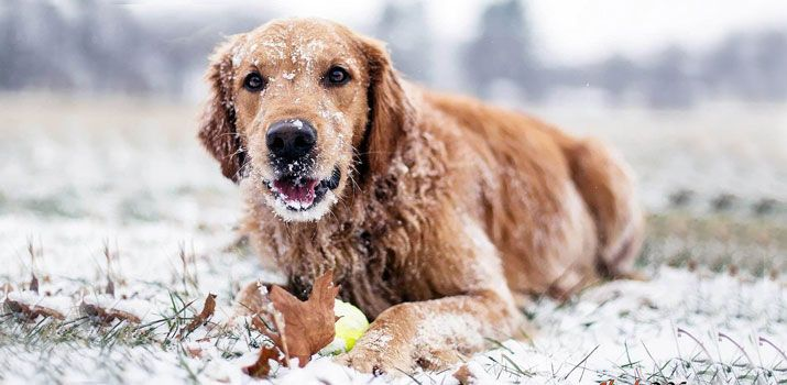 Hypothermia and frostbite in dogs