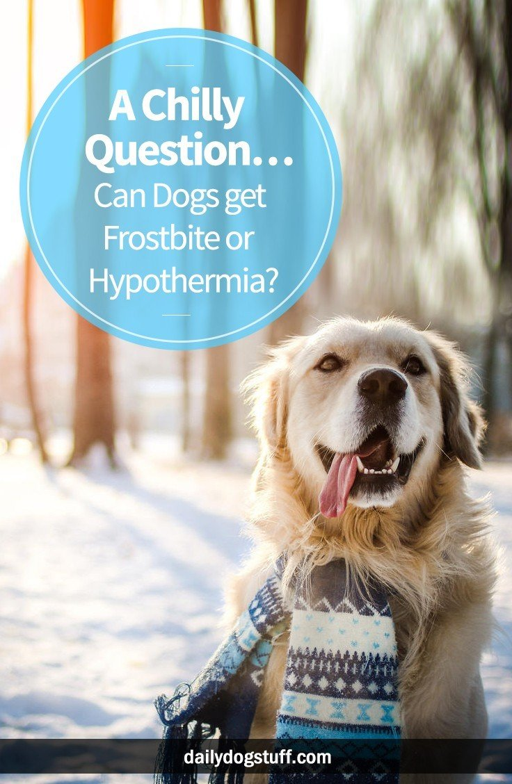 A Chilly Question Can Dogs Get Frostbite Or Hypothermia