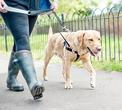 train your dog to walk without pulling