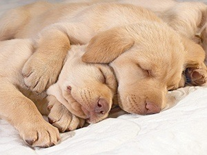 sleeping labradors laying on bed