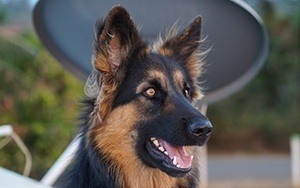 german shepherd nutrition needs