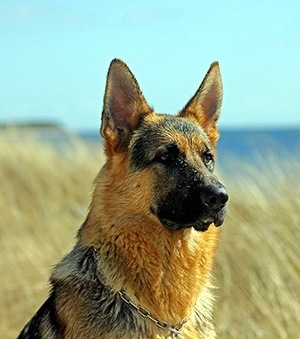 german shepherd outside