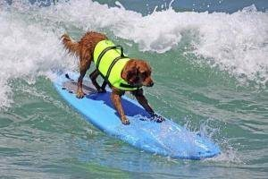 dog wearing high quality life vest on surf board