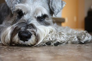 schnauzer health issue