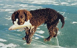 American Water Spaniel walking on ice
