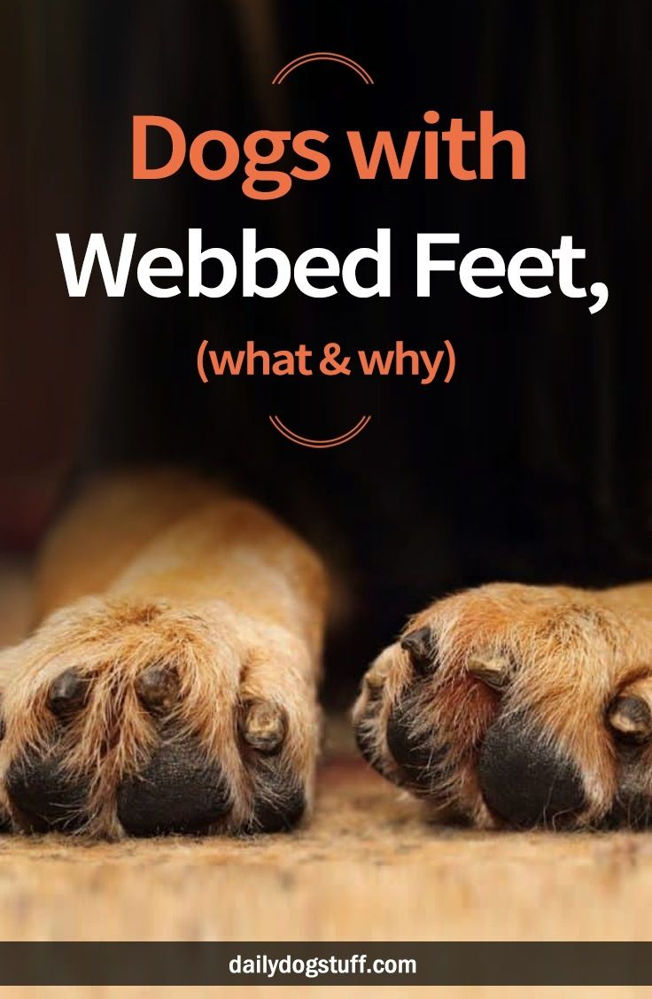What Do Webbed Feet Look Like On Dogs