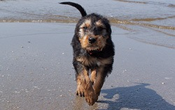 Otterhound walking on wet beach