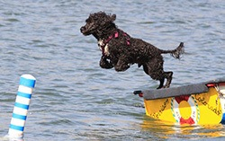 Portuguese Water Dog jumps into water