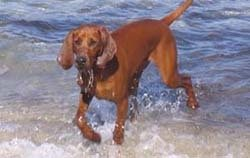 Redbone Coonhound using his webbed feet