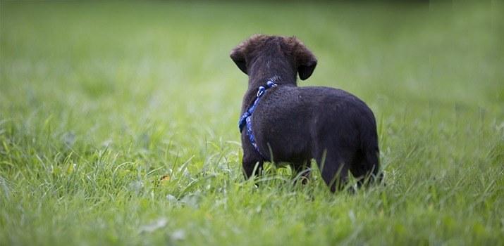 dog on yard in range of wireless fence
