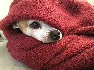 dog wrapped in blanket to warm up