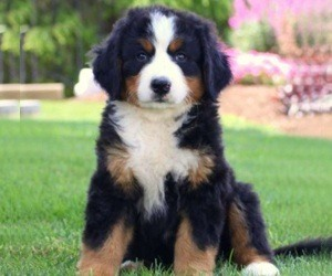 11 Lovable Long Haired Dog Breeds Daily Dog Stuff