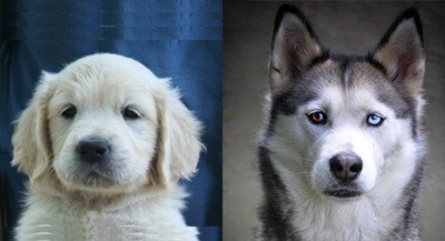 comparison between a golden retriever and a siberian husky