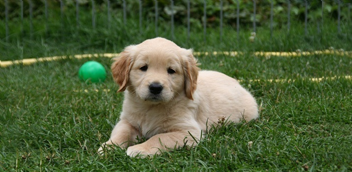 golden retriever outside on grass in the yard