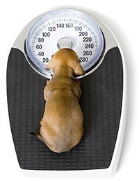 weighing a dog on a scale