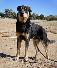 Rottweiler Husky Mix  body
