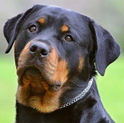 Rottweiler facial feature