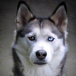 husky facial features