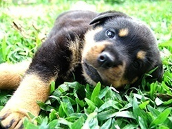 rottski pup laying outside