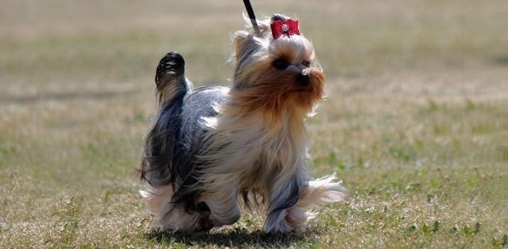 Full Grown Adult Yorkshire Terrier