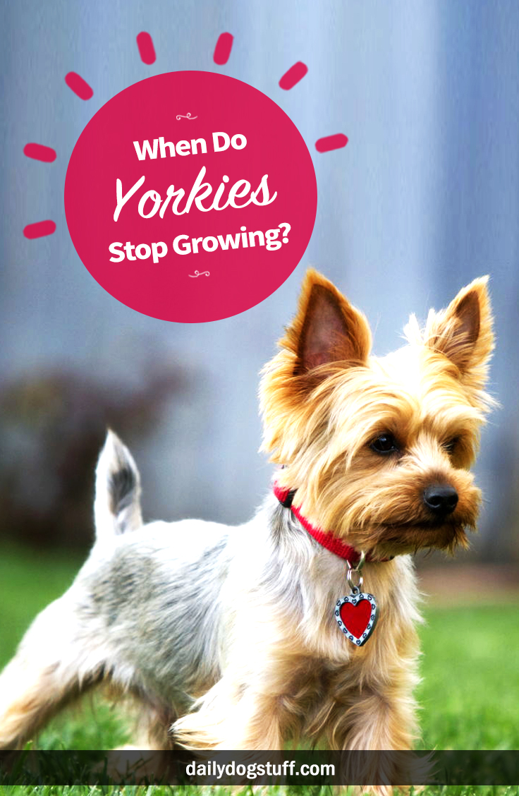 When Do Yorkies Stop Growing Daily Dog Stuff