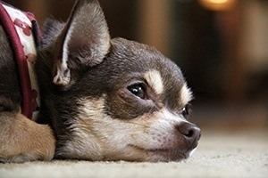 chihuahua nutrition and health