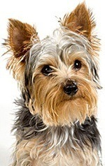facial dimensions of a yorkie