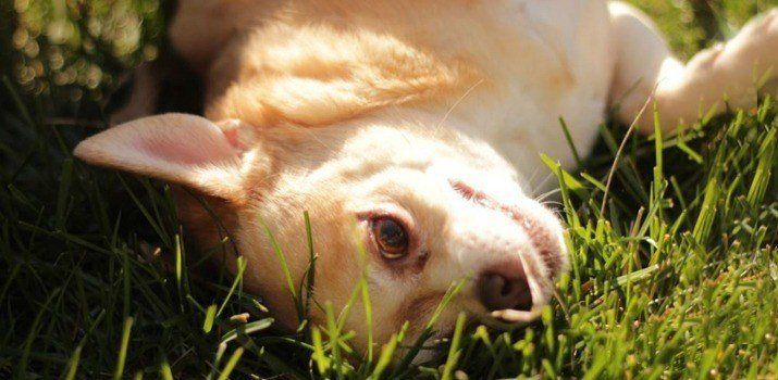 well fed chihuahua laying in the grass