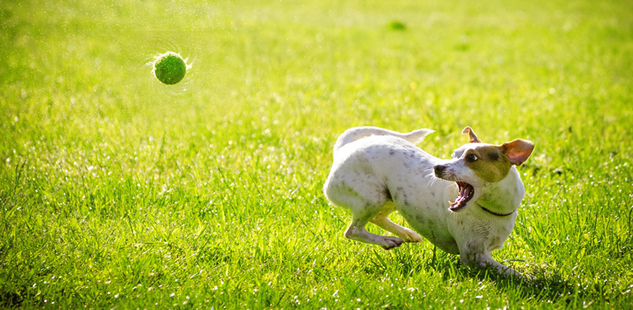 Dog catching a tennis bal from an automatic ball launcher