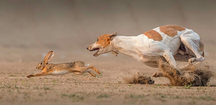 dog chasing a rabbit because of its instinct to hunt prey