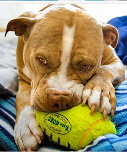 pitbull playing with rugby toy