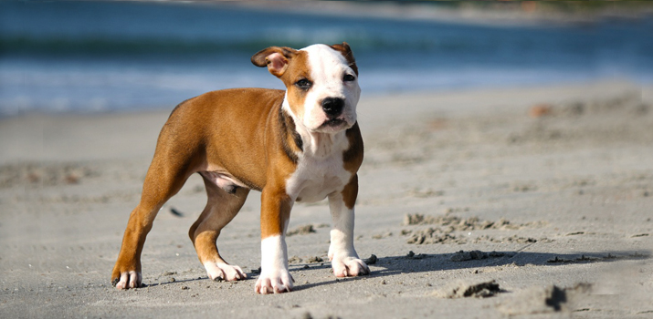 pitbull ready to play on the beach