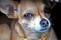 chihuahua looks as if he is disapproving foods