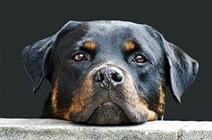 rottweiler with a possible food related  health issue
