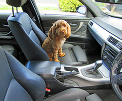 dog sitting in car waiting for seat cover to be installed