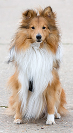 sheltie profile