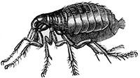 Siphonaptera flea