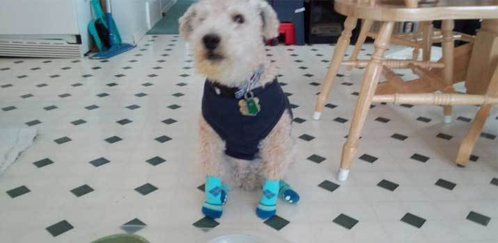 dog wearing dog socks on the kitchen floot