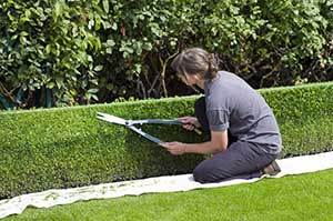 ytimming the hedge to reduce the possible flea population in the garden