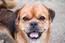 pup making eye contact