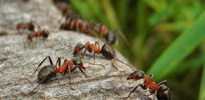 Ants in the garden that can potentially bite a dog